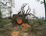 Tree Stump, Nanaimo BC 1991 Roy Arden
